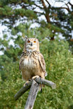 Coruja de águia Foto de Stock