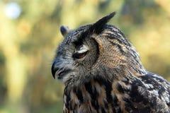 Coruja de águia Fotografia de Stock Royalty Free