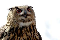 Coruja de águia Imagens de Stock