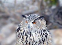 coruja de águia Branco-enfrentada Fotos de Stock
