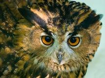 Coruja de águia (bubão do bubão) Imagens de Stock Royalty Free