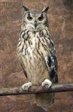 Coruja de águia da rocha Imagem de Stock Royalty Free