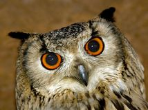 Coruja de águia da rocha Fotos de Stock