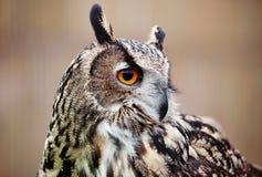 Coruja de águia de Eagle Owl Imagem de Stock