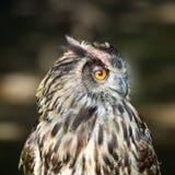 Coruja de águia euro-asiática Foto de Stock Royalty Free