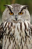 Coruja de águia euro-asiática Fotografia de Stock