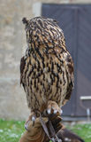 Coruja de águia euro-asiática (bubão do bubão) Imagens de Stock Royalty Free