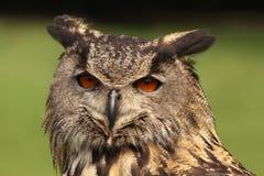 Coruja de águia euro-asiática que olha o imagem de stock
