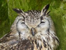 Coruja de águia euro-asiática que olha para fora no mundo fotografia de stock royalty free