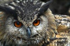 Coruja de águia européia Fotos de Stock