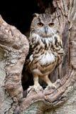Coruja de águia européia Imagens de Stock