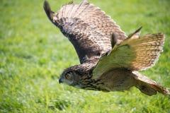 Coruja de águia européia Fotos de Stock Royalty Free