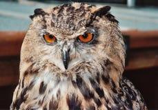 Coruja de águia européia fotografia de stock