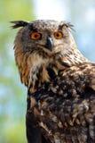 Coruja de águia européia foto de stock