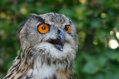 Coruja de águia europeia Foto de Stock Royalty Free