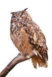 Coruja de águia isolada Fotos de Stock Royalty Free