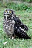Coruja de águia manchada Imagem de Stock Royalty Free