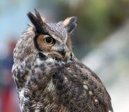 Coruja de águia manchada Fotos de Stock Royalty Free