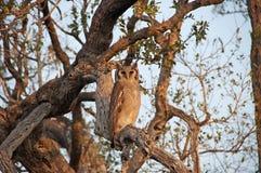 Coruja de águia manchada Imagens de Stock
