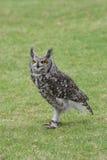 Coruja de águia manchada Imagens de Stock Royalty Free