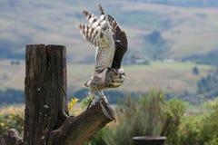 Coruja de águia manchada Fotografia de Stock Royalty Free