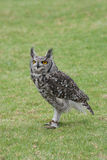 Coruja de águia manchada Foto de Stock Royalty Free