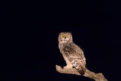 Coruja de águia manchada que olha o na obscuridade Fotografia de Stock