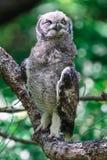 Coruja de águia manchada que senta-se em um ramo de árvore em Cape Town fotos de stock