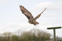 Coruja de águia no vôo foto de stock royalty free