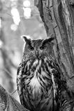 Coruja de águia preto e branco Fotografia de Stock Royalty Free