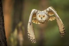 Coruja de águia Siberian Fotos de Stock