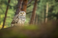 Coruja de águia Siberian Imagens de Stock