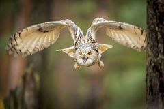 Coruja de águia Siberian foto de stock royalty free