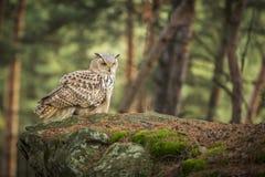 Coruja de águia Siberian Imagem de Stock Royalty Free