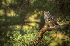 Coruja de águia Siberian Foto de Stock