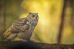 Coruja de águia Siberian Fotografia de Stock