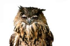 Coruja de águia sonolento imagem de stock royalty free