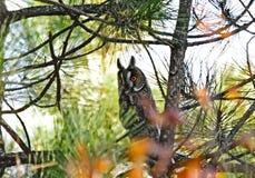 Coruja de Bechsteini Fotos de Stock Royalty Free