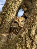 Coruja de Brown em uma árvore Fotos de Stock Royalty Free