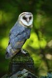 Coruja de celeiro agradável do pássaro, Tito alba, sentando-se na cerca de pedra no cemitério da floresta, luz borrada agradável  Imagens de Stock