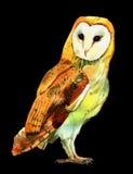Coruja de celeiro da aquarela Imagens de Stock Royalty Free