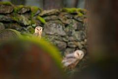 Coruja de celeiro do pássaro da mágica dois, Tito alba, voando acima da cerca de pedra no cemitério da floresta Natureza da cena  fotografia de stock