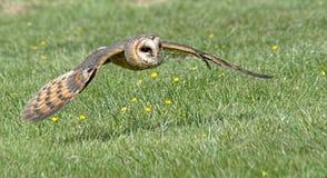 Coruja de celeiro escandinava em voo fotografia de stock royalty free