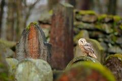 Coruja de celeiro mágica do pássaro, Tito alba, sentando-se na cerca de pedra no cemitério da floresta Natureza da cena dos anima fotografia de stock royalty free