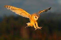Coruja de celeiro, pássaro claro agradável em voo, na grama, vitórias estendido, cena dos animais selvagens da ação da natureza,  Foto de Stock Royalty Free