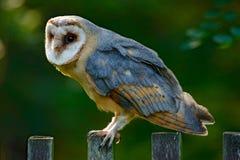 Coruja de celeiro que senta-se na cerca de madeira com obscuridade - fundo verde, pássaro no habitat, república checa, a Europa C imagem de stock