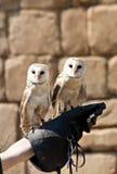 Coruja de celeiro (Tyto alba) Fotos de Stock
