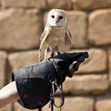 Coruja de celeiro (Tyto alba) Foto de Stock