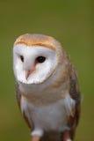 Coruja de celeiro (Tyto alba) Foto de Stock Royalty Free