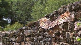 Coruja de celeiro, tyto alba, adulto em voo, incorporando o furo em uma parede da pedra, Normandy filme